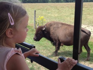 découverte de l'élevage de bisons à Bourganeuf